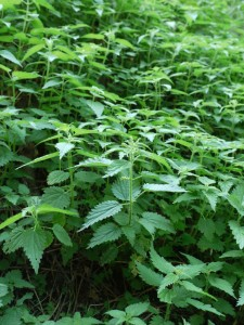 Stinging-nettle-patch